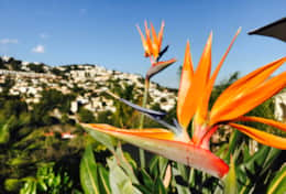 Bird of Paradise bloem