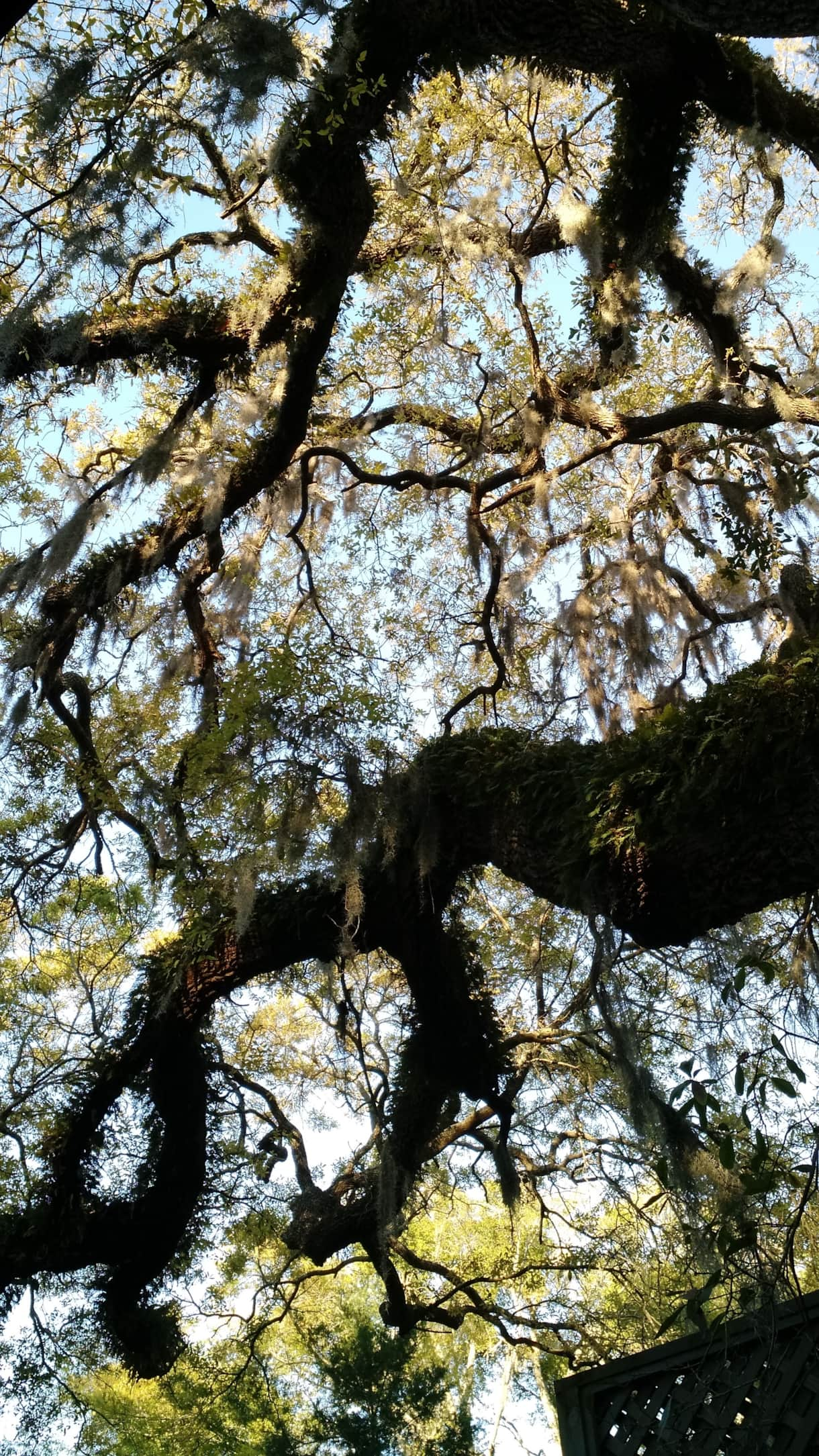 One of our Live Oak trees