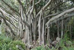 A Crater Banyan Tree