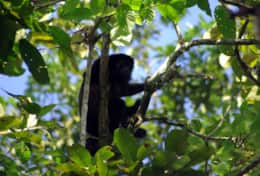 Howler Monkey in the Garden
