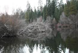 One of our huge beaver lodges