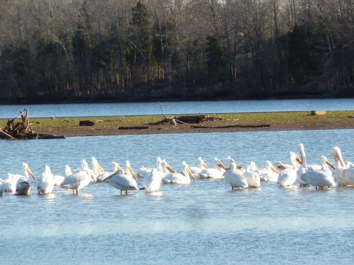 Pelicans viewed from our shoreline in Spring. Thousands migrate through the Lake Barkley area