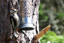 Woodpeckers are daily visitors
