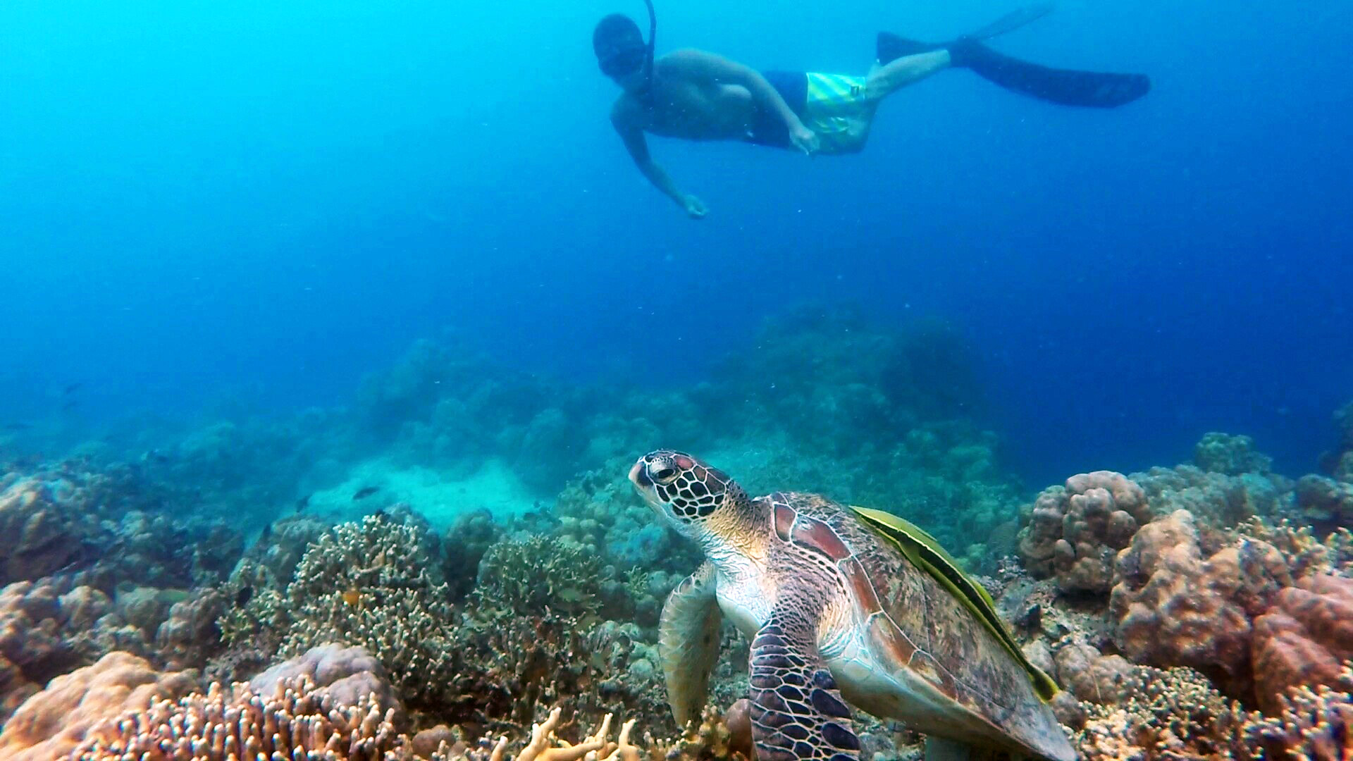 tourist snorkling with turtle.