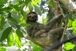 Sloth hanging on the property
