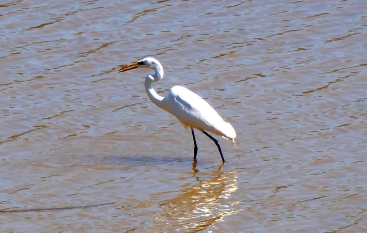 Herons frequent the shoreline