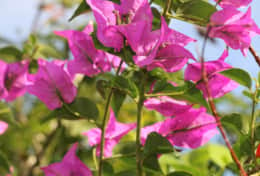 Bouganvillia at Bula Vista